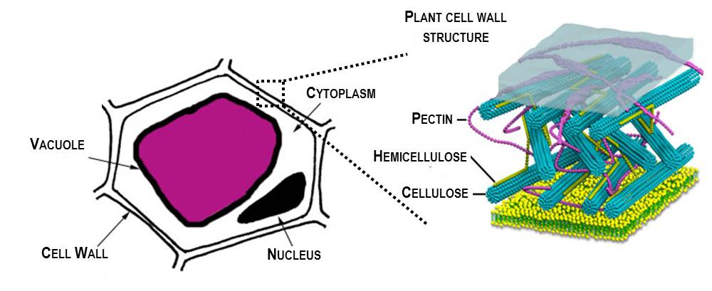 Permeability of Cell Membrane in Beetroot Cells