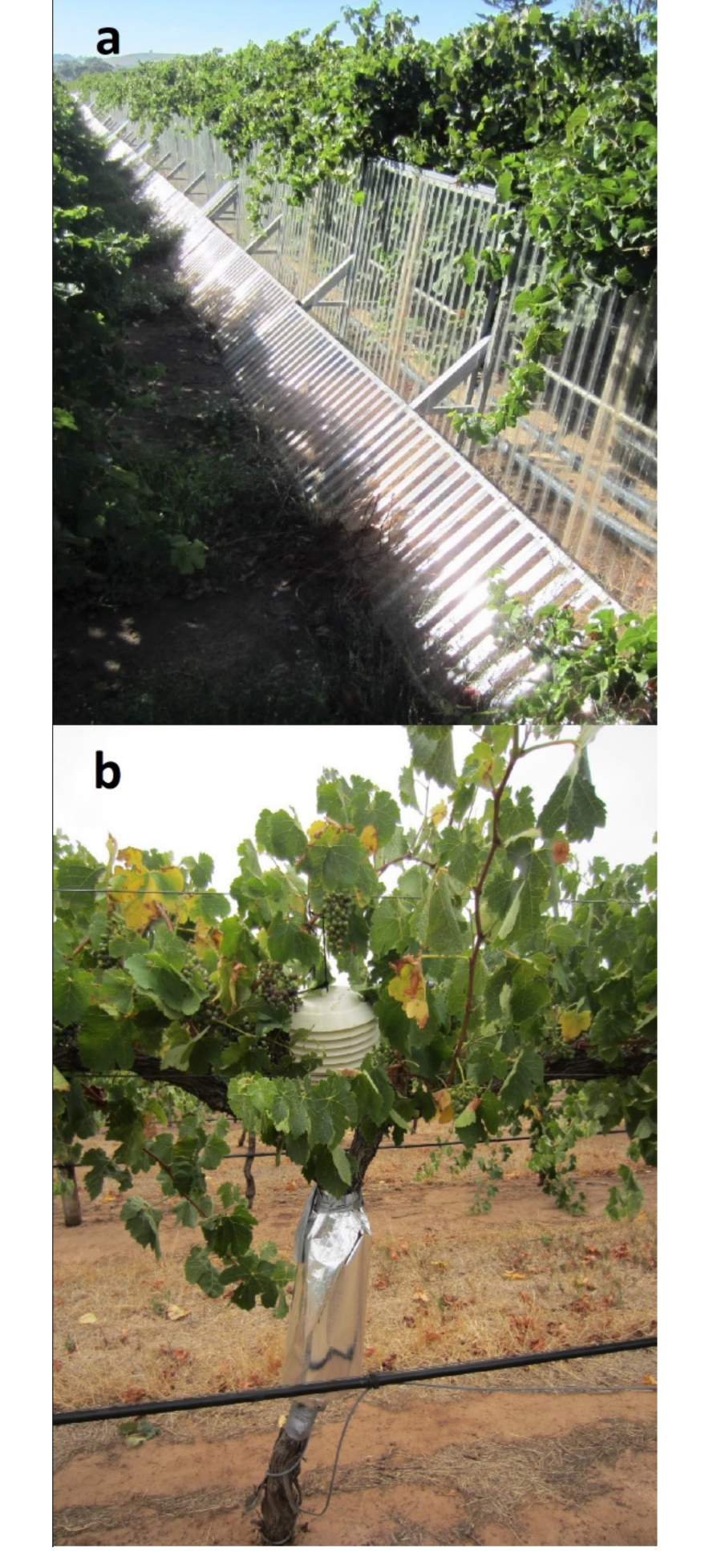 Interactive effects of warming and water deficit on Shiraz